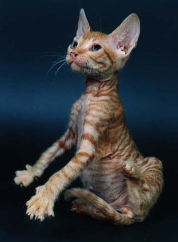 Black Anf White Peterbald Cat With Fur